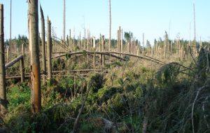 Гарадзенцаў запрашаюць аднавіць лес пасля летніх ветравалаў