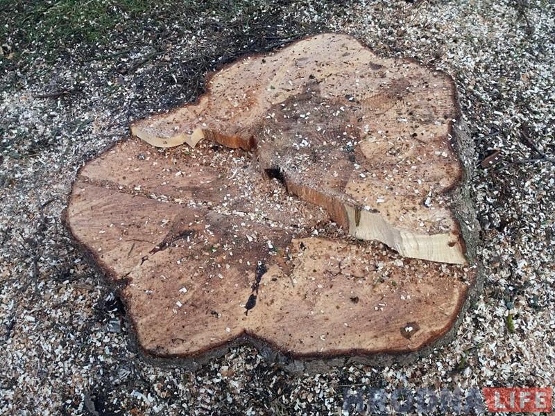 Охрана природы приостановила спиливание деревьев на Телеграфной