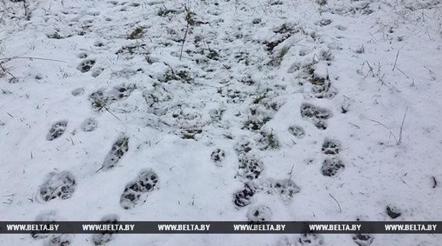 У Белавежскай пушчы гуляе рысь з дзіцянятамі: эколагі чакаюць росту папуляцыі рэдкага звера