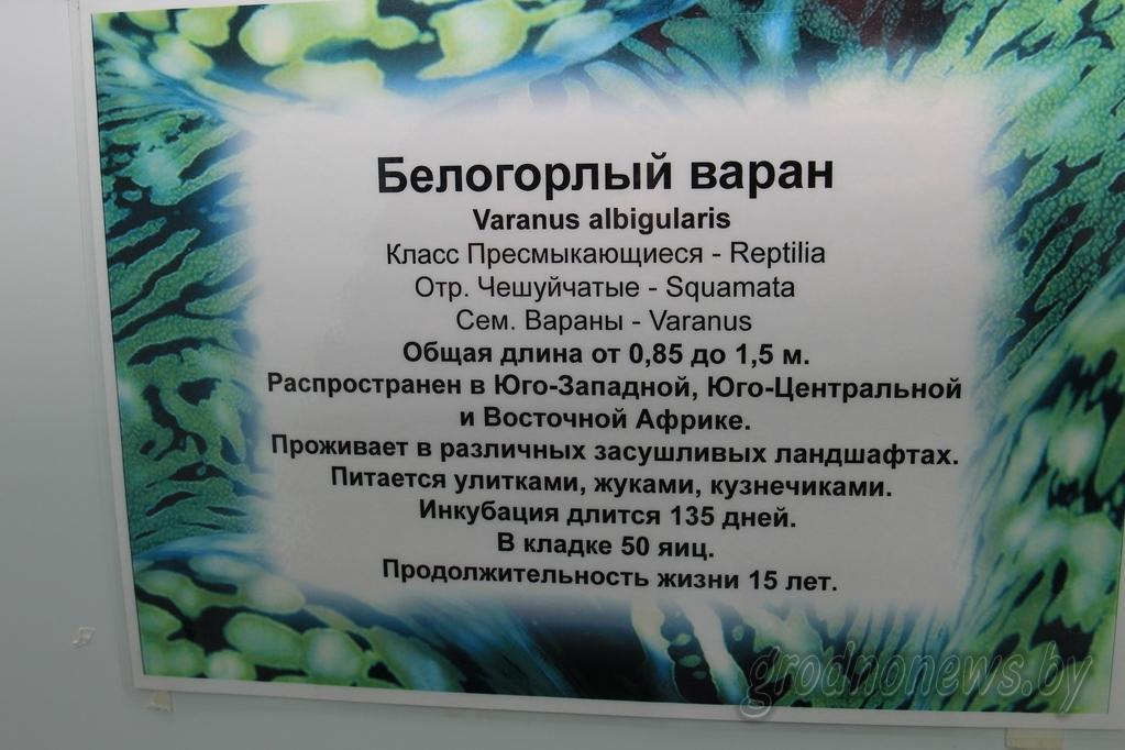 Экзатычныя вараны, якіх канфіскавала мытня, застануцца жыць у гродзенскім заапарку
