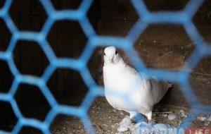Гродзенскі пенсіянер распавёў як вулічны голуб дапамагае яго курыцы несці яйкі