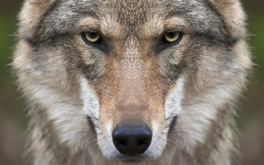 На окраине Березовки волки загрызли собаку. Местные жители опасаются нападений на людей