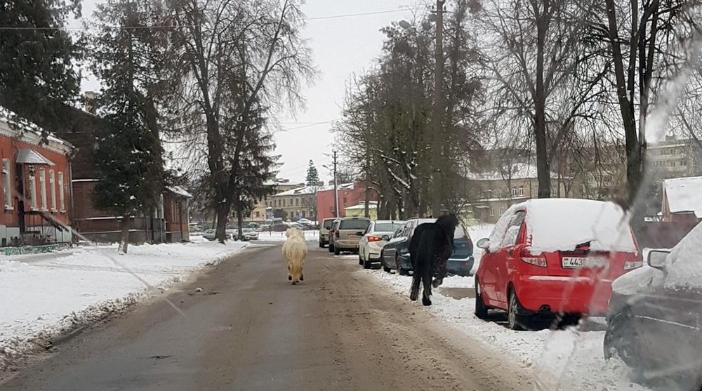 """""""Заставили нас побегать"""". Как пони Гоша и Лина гуляли в одиночестве по центру Гродно"""