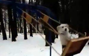 Чего только не увидишь в Гродно: в Пышках гуляет собака, которая любит кататься на качелях