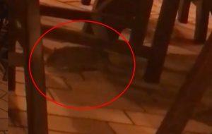 Большую крысу заметили в кафе в центре Гродно (ВИДЕО)