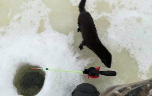 Выдра прыйшла пачаставацца на рыбалку ў Слонімскім раёне