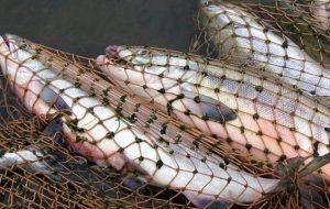 Гродненец наловил рыбы на 6 тыс. рублей. Сетями, во время нереста