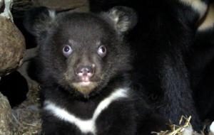 В Гродненском зоопарке впервые родился малыш гималайского медведя. Видео