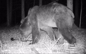 В Беловежскую пущу пришел медведь