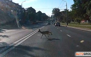 Утром по улице Советских Пограничников бегал олененок. Вероятно, он еще там