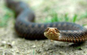 В Гродненском районе начали чаще замечать змей. В том числе ядовитых