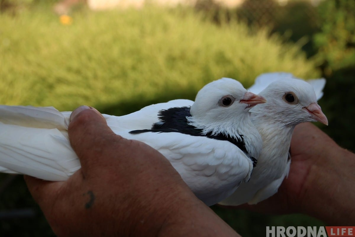 Гродненец 50 лет разводит голубей: «Раньше было модно, сейчас - занятие для души»