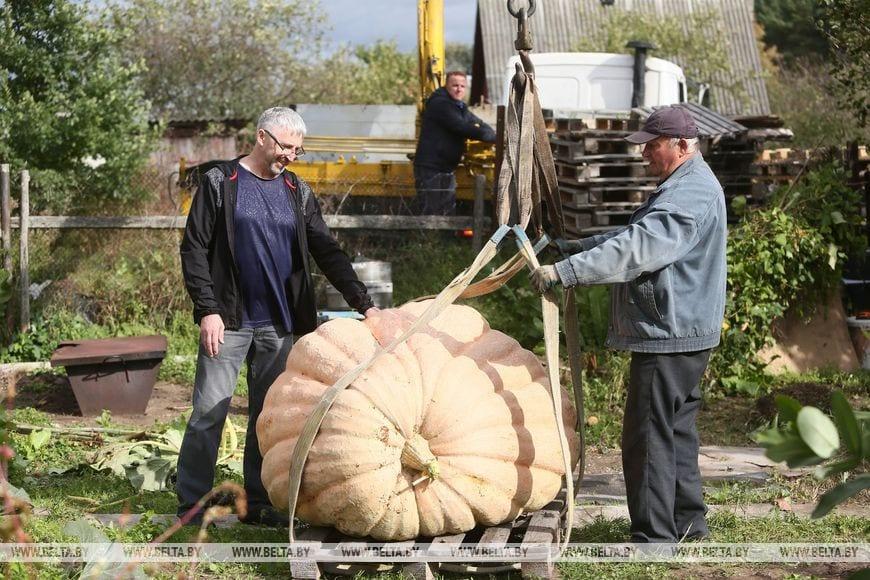 Гарбуз вагой 450 кг можна ўбачыць у Каробчыцах пад Гродна